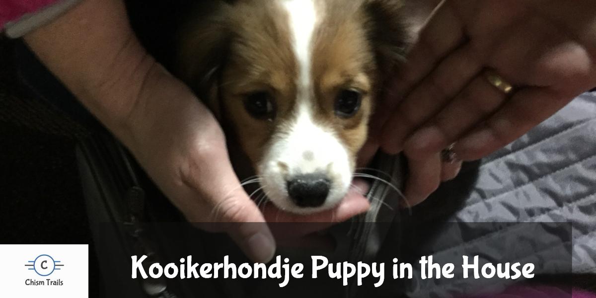 Puppy Kooikerhondje