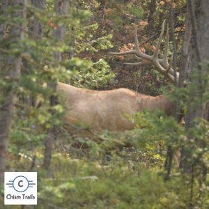 Elk-Yellowstone